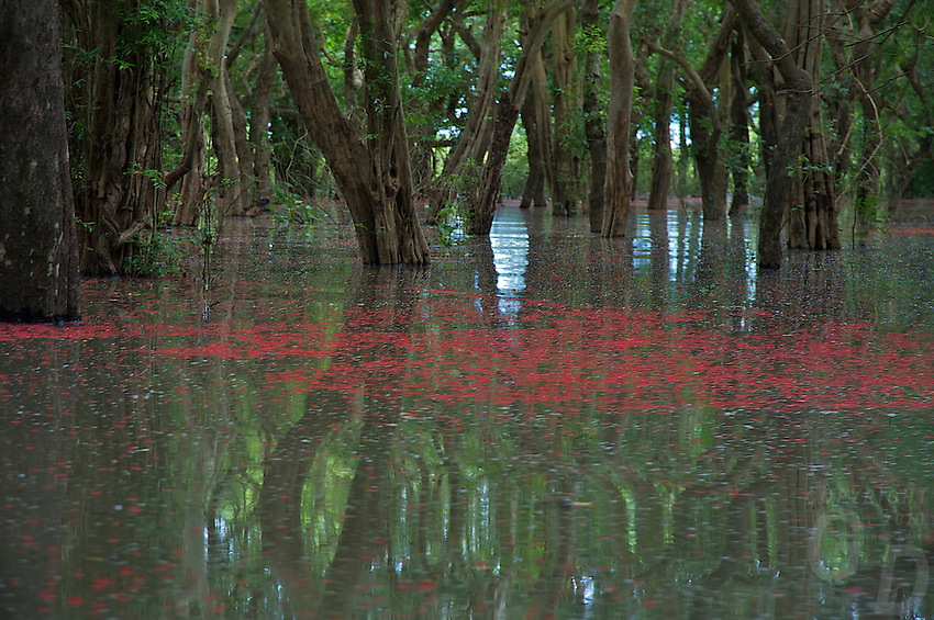 The flooded forest near Kampong Phluk during the Monsoon Season grows in the lowlands of Tonle Sap Lake, Cambodia and<br /> stretching over 300,000 hectares (741,000 acres). The  forest is known to contain more than 200 species <br /> of tree within the forest and bush shrub habitats. The red colour on the water is from the flower buds, and a rare sight, but these red flower buds will wash away very quickly during heavy rains.<br /> The dominant species present along rivers, streams and canals is a tree known in the Khmer language as raing (Barringtonia acutangula). A tall tree that can reach up to 20 meters (66 feet) high, and can survive <br /> in the water for up to nine months at a time.