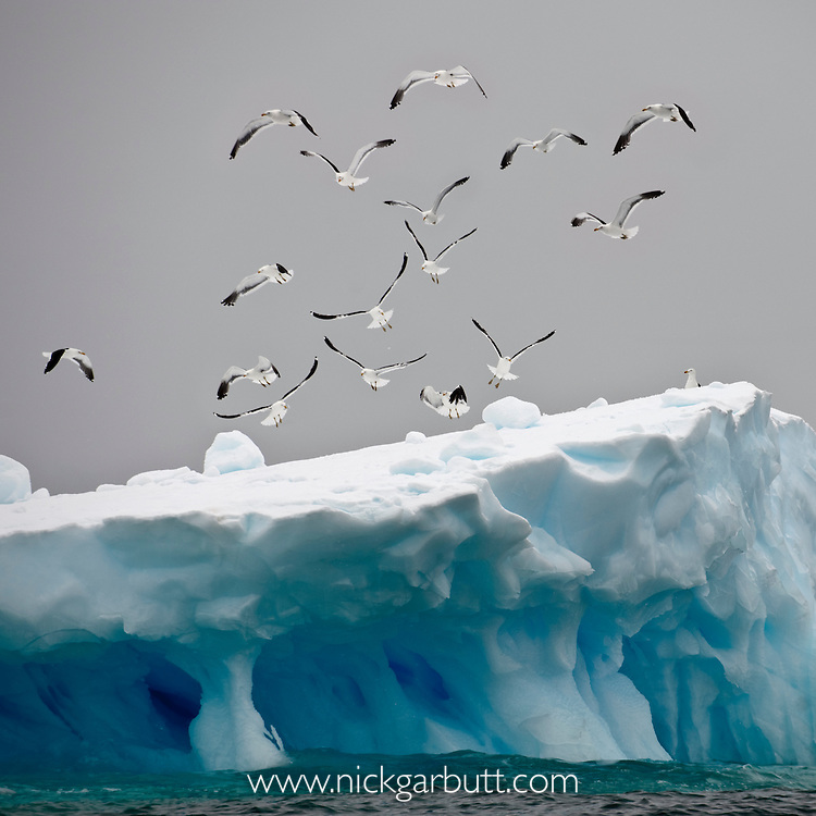 Flock of Kelp Gulls (Larus dominicanus) flying over ice berg. Graham Passage, Antarctic Peninsula, Antarctica.