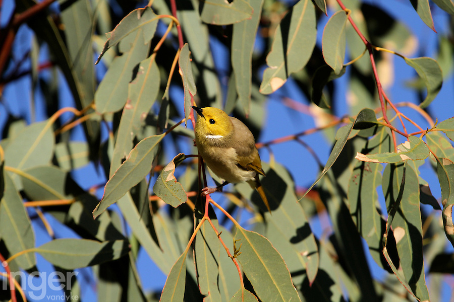 White-plumed Honeyeater in the Red Centre, Northern Territory, Australia