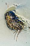Imagination shapes Kelp that washes ashore along Grayland Beach, Washington.  Grayland Beach Stae Park.