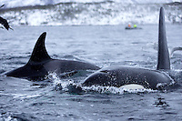 Killer whale Orcinus orca male and female foraging for herring, Tysfjord, Arctic Norway