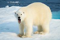 polar bear, Ursus maritimus, male, yawning, on iceberg, Baffin Island, Nunavut, Canada, Arctic Ocean