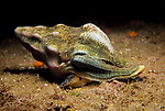 Santa Cruz Island, Channel Islands National Park & National Marine Sanctuary, Channel Islands, California; a Kellet's Whelk snail moves across the ocean floor