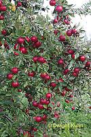 AT02-505z   Apples, Cortlands