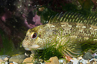 Schan, Schleimlerche, Lipophrys pholis, Lipophris pholis, Blennius pholis, Shanny, Le Mordocet, Schleimfisch, Schleimfische, Blenniidae, combtooth blenny, Combtooth blennies
