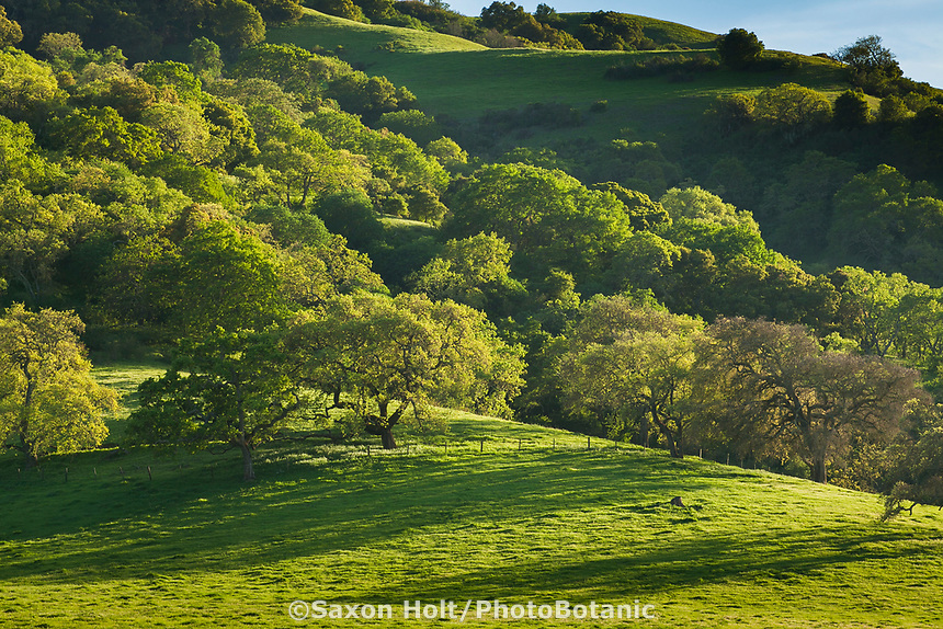 Northern California spring green hills with budding Oak trees, Gilroy