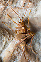 Cave Cricket {Troglophilus cavicola} on wall of karstic cave. These are trogloxene invertebrates, spending the day in the safety of the cave and venturing out at night to feed and reproduce. During autumn and winter they hibernate deeper in the cave. Slovenia, April.