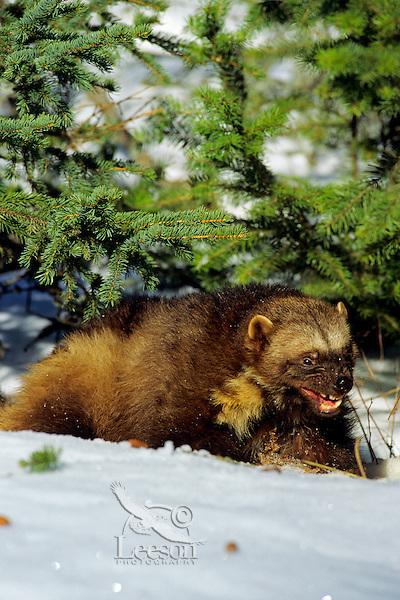 Wolverine (Gulo gulo).  Northern Rockies.  Winter.