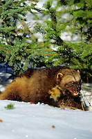 Wolverine (Gulo gulo).  Northern Rockies.  Winter.