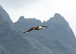 Laysan albatross (Phoebastria immutabilis) in flight over the north shore of Kauai in front of Mount Makana (Bali Hai).