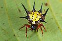 Spiny Orb Web Spider (Gasteracantha sp.), Danum Valley, Sabah, Borneo. June.