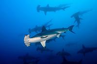 school of scalloped hammerhead sharks, Sphyrna lewini, off Wolf Island, Galapagos Islands, Ecuador, Pacific Ocean