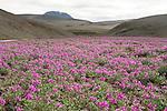. tapis d epilobes arctiques avec au fond sommet du Sydri Haganga Islande.