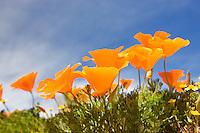 California poppies. Antelope Valley Poppy Preserve. California