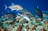 Sharks and Giant Trevally hunting together, Triaenodon obesus, Caranx ignobilis, Blue Corner, Micronesia, Palau