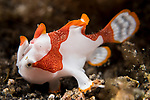 Lembeh Strait, Indonesia; an orange and white Clown frogfish, roughly the size of a pinky fingernail, will grow up to become a warty frogfish.