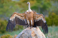 Griffon Vulture (Gyps fulvus) drying wings after rain, Pyrenees mountains, Spain, Europe