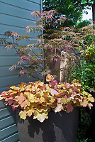 Perennial Heuchera and Acer palmatum dissectum Japanese maple tree in pot container garden next to house wall corner, beautiful foliage plants together for a small space