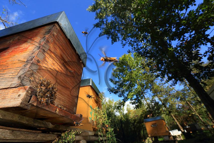Asian hornets flying around the hives.///Les frelons asiatiques en vol autour des ruches.