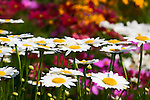 Field of white daisies with colorful background