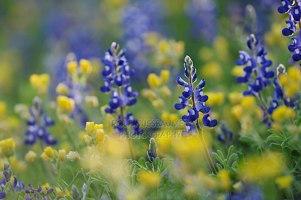 Texas Bluebonnet (Lupinus texensis), blooming, Gonzales County, Texas, USA