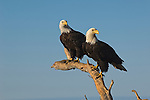 Two bald eagles perched on a tree in Kachemak Bay in Homer, Alaska.