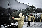 November 24, 2008. Rural Virginia.. At the New River Tree Co. loading yard in Virginia, workers load semi trucks with trees, most of which are heading to Florida. In the week leading up to Thanksgiving, the farm will load 30 trucks a day, with 600 tree per truck.. All the trees are grown in North Carolina, but the closest loading area is just over the border in Virginia.. New River Tree Co. has 30 full time employees and uses 60 H2A, the Federal guest worker program, workers during harvest season. Most of the guest workers are from Mexico and many return year after year to work on the same farm in North Carolina. The pay rate is federally mandated at $9/hr. and the workers are housed in government regulated housing facilities.