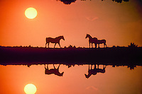 Silhouette action: Two male horses meet on dam of lake in orange sunset- one with companion mare