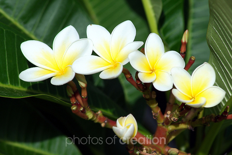 White Frangapani Flowers