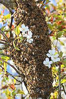 A swarm of bees on a branch of a cherry tree.///Un essaim d'abeilles accroché à une branche de cerisier.