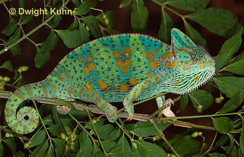 CH39-519z  Female Veiled Chameleon in display colors, Chamaeleo calyptratus