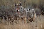 Coyote, Yellowstone National Park, Wyoming
