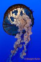 EC11-504z  Sea Nettle Jellyfish swimming in ocean, Chrysaora spp.