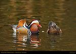 Mandarin Male, Wood Duck Female, Franklin Canyon, Southern California