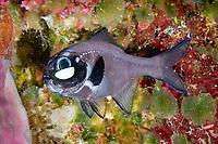 eyelight fish or one-fin flashlightfish, Photoblepharon palpebratum (or Photoblepharon palpebratus), showing bioluminescent light organ under eye, Indonesia, Indo-Pacific Ocean