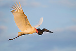 Jabiru Stork (Jabiru mycteria) flying back to nest. Taiama Ecological Reserve, Pantanal, Brazil.