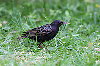Star, Sturnus vulgaris, European starling