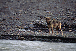 A gray wolf stands by water in Denali National Park, Alaska.