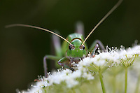 Close view of a big grasshopper on a blurred background looking straight to the camera