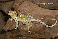 1R17-519z  Collared Lizard, Male, Crotaphytus collaris