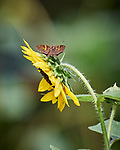 Unknown Skipper? Butterfly on a Sunflower. Image taken with a Nikon D5 camera and 200-500 mm f/5.6 lens.
