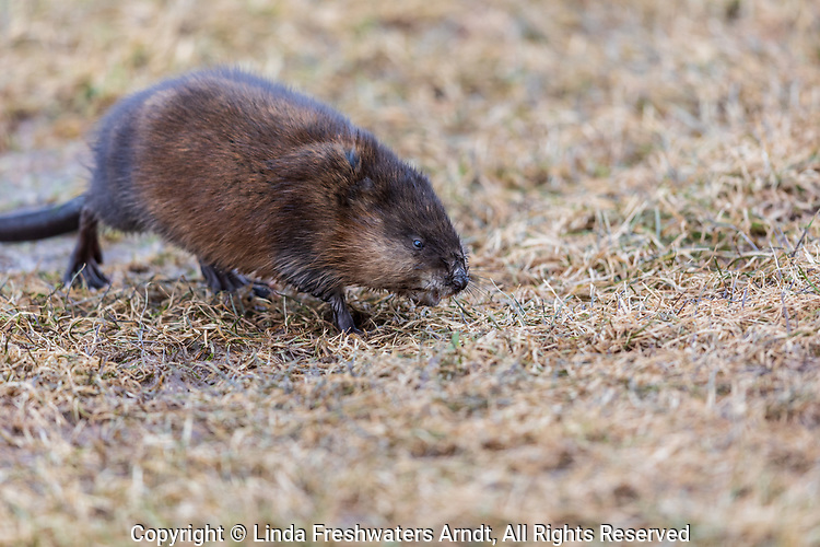 Muskrat on an April day in northern Wisconsin.