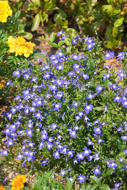 Tiny flowers of Lobelia erinus Laguna Compact Blue with Eye