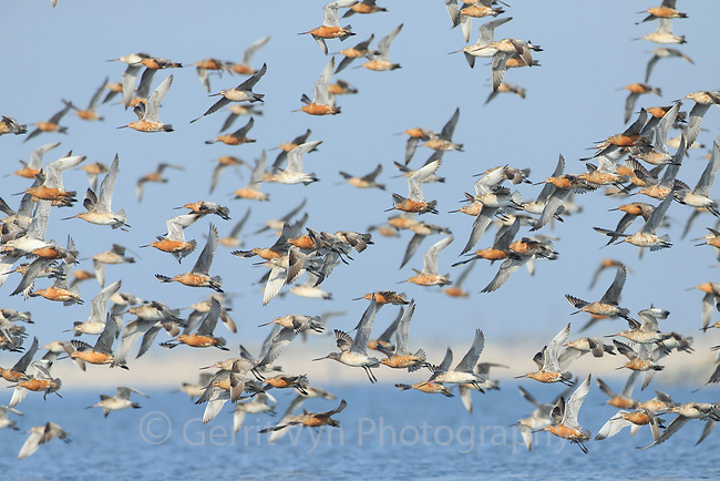 The yearly migration of the Bar-tailed Godwit is among the most awe-inspiring in the bird world. Each fall it makes a seven-to-nine-day, 7,200-mile flight from coastal western Alaska to New Zealand where it spends the winter—the longest known nonstop migratory flight. In order to do so, the bird undergoes a number of dramatic physiological changes including a rapid shrinkage of its digestive organs in order to make room for more flight muscle, fat, and heart mass. The godwit does not pause to eat or land to rest during its wind-assisted journey over the open Pacific Ocean. Yalujiang, Yellow Sea. China.