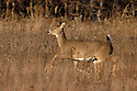 00275-198.16 White-tailed Deer (DIGITAL) doe is bounding with tail raised in meadow during fall.  Run, action, hunting.  H6L1
