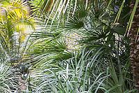 European fan palm tree (Chamaerops humilis) in tropical foliage California garden
