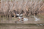 Lake Hodges, Escondido, San Diego, California; an adult, male Red-breasted Merganser (Mergus serrator) with breeding plumage, taking flight from Lake Hodges
