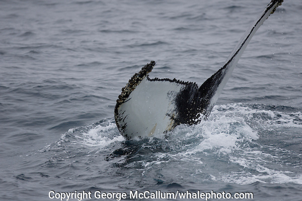 Humpback whale tail fluke during dive showing barnacles on trailing edge  North east atlantic Megaptera novaeangliae