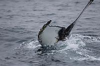 Humpback whale tail fluke during dive showing barnacles on trailing edge  North east atlantic Megaptera novaeangliae