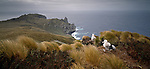 Wandering Albatross chicks on nests at the Antipodes Islands. New Zealand Sub-Antarctic Islands.